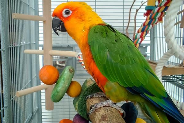 Jenday Conure Parrot