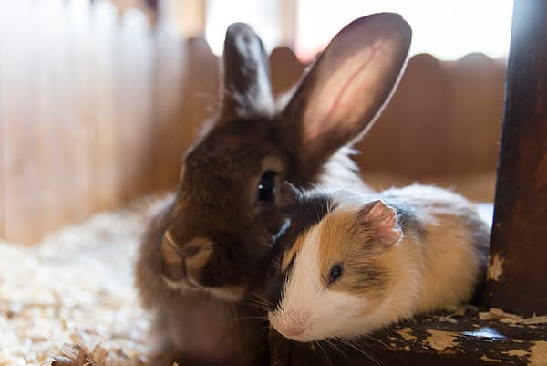 Rabbit and guinea pig hanging out