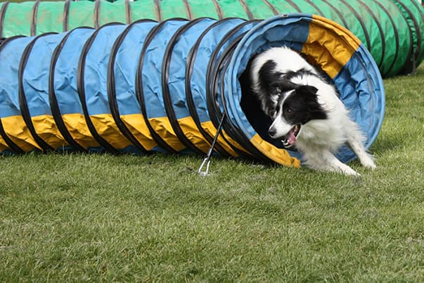Dog in agility class